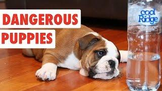 Dangerous Puppies | Cute Dog Video Compilation 2017