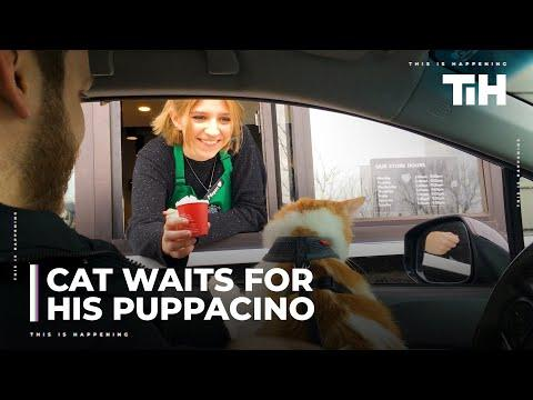 Cat Eagerly Waits for His Puppacino at Drive-Thru Window Video