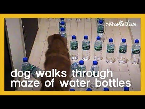 Dog Walks Through Maze of Water Bottles
