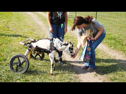 Man gives deformed miniature cow a second chance at life #Video