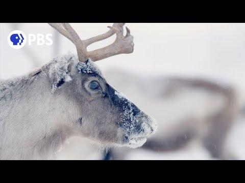 Follow Thousands of Reindeer on an Epic Journey Video