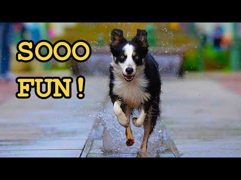 Dogs Playing in Water Fountains Video
