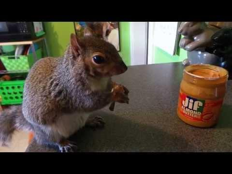 Wally The Squirrel : Eating Almond Butter Off His Fork!