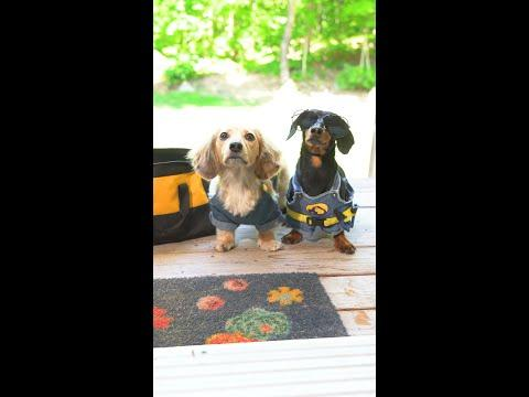 Your friendly local HANDYDOGS! #Shorts #Video