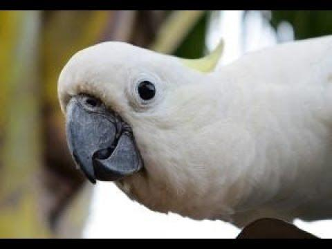 A Funny and Cute Cockatoo Parrot Compilation -  Bird funny Videos