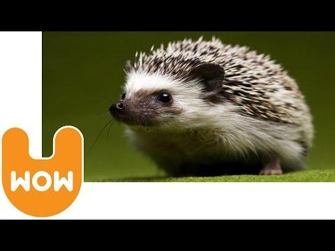 Polish Hedgehog Shelter: Jerzy Dla Jezy