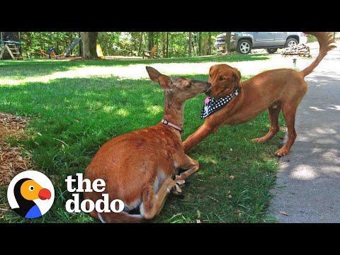 Deer Brings Her Babies To Meet Her Dog Best Friend Every Spring! #Video