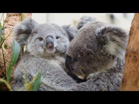 This baby Koala just loves cuddling