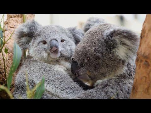This baby Koala just loves cuddling
