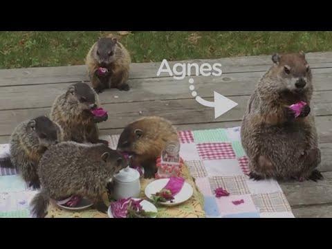 Groundhog Mom Brings Her 5 Babies To This Woman's Yard #Video