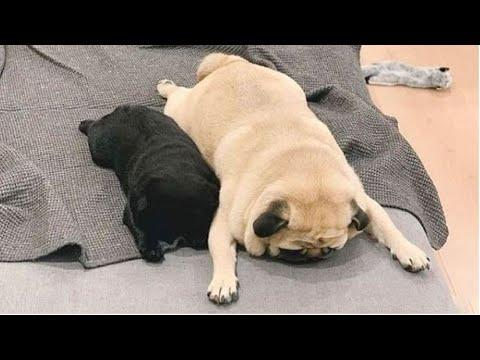 AWW SOO Cute and Funny Pug Puppies Video - Funniest Pug Ever #7