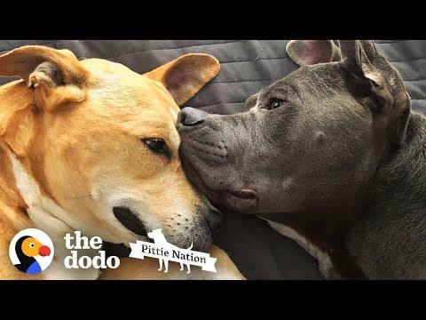 Two Rescued Pit Bulls Comfort Each Other Every Day   The Dodo Pittie Nation