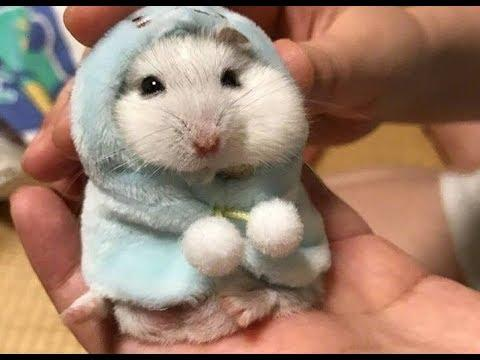 Cute Hamster  - Try not to laugh with Funny Hamster Videos Compilation