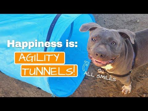 Happy dog has the cutest smile playing in his agility tunnel