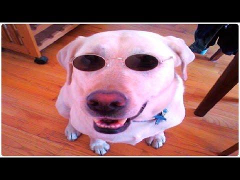 10 Funny Yellow Labrador Retrievers