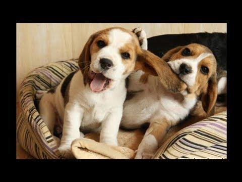 Funny And Cute Beagle Puppies Compilation Video #1 - Cutest Beagle Puppy