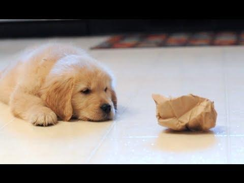 Puppy Attacks Paper Bag
