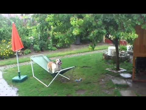 Bulldog Plays On Hammock In The Rain | Funny Bulldog
