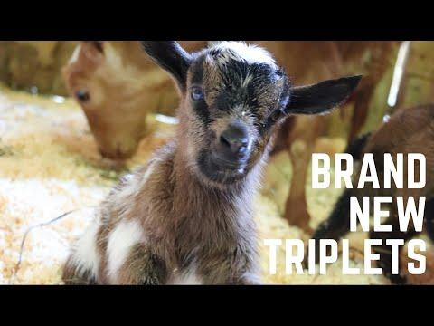 Ripley's triplets are born!