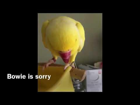 Bowie is Sorry He Stole a Chip