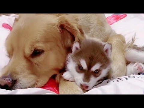 Golden Retriever Cares for Baby Husky Pups Video