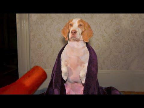 Dog Addicted To Blow Dryer: Cute Dog Maymo