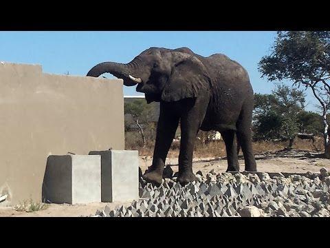 Naughty Elephant Drinks Toilet Water