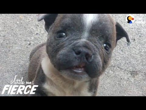 Tiny Cleftie Puppy Grows Up Into A BIG Boy - EARL GREY | The Dodo Little But Fierce