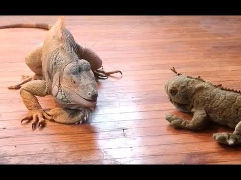 When Iguanas Attack - Your Daily Dose Of Internet
