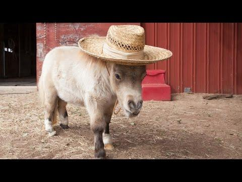 Shammy The Miniature Horse
