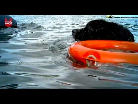 Amazing Dog Lifeguards!