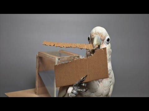 Cockatoos Make Tools From Different Materials
