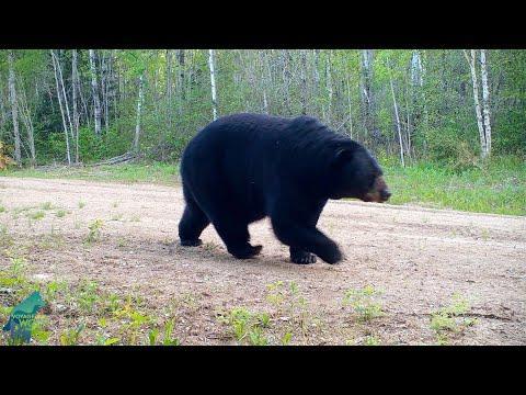 Huge male black bear following female bear in northern Minnesota #Video