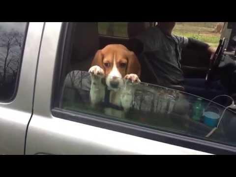 Beagle Puppy Hangs On Car Window