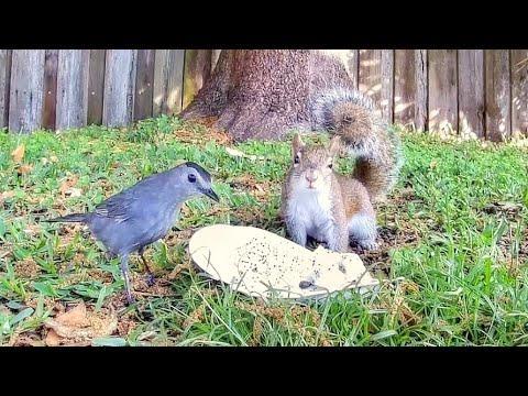 Catbird Loves Dragon Fruit - Squirrels Not so Much