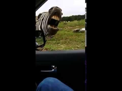 Hilarious! - The Singing Zebra