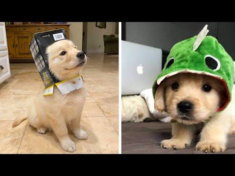 Funny and Cute golden retriever Puppies Compilation Video #2- Cutest Golden Puppy 2020