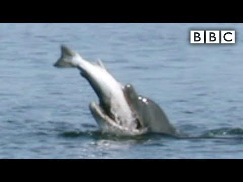Dolphin bites off more than it can chew video! - BBC