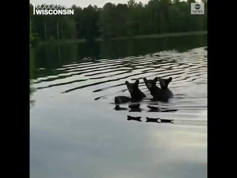 You Did It Mama Video! Black Bear Spotted Carrying Three Cubs Across River.