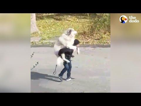 Dog Decides When His Walk Is Over
