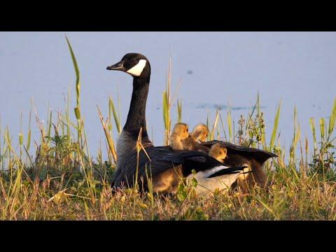 Canada Geese with Goslings Video