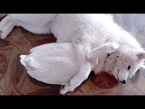 Fluffy Dog Cuddling with Goose Friend Video