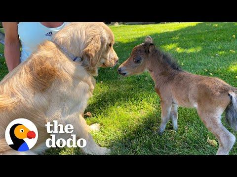 Mini Horse Tries So Hard To Make His Very First Friend #Video