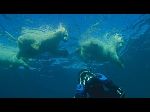 Swimming With A Wild Polar Bear Family