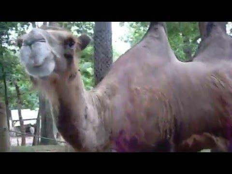 Camel Eats Bucket