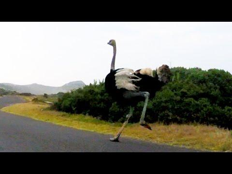 Ostrich Chases Cyclists In South Africa