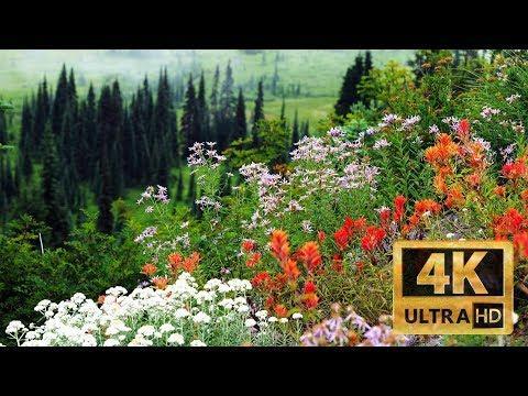 Wildflowers at Mt Rainier National Park, LUMIX S1 & DJI Ronin-S 20190818 4K UHD
