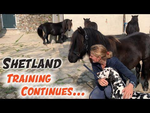 Shetland Stallion training video - We are making progress!