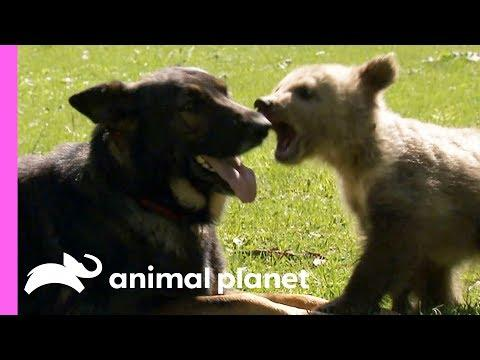 A Baby Bear And A German Shepherd Become The Best Of Friends!