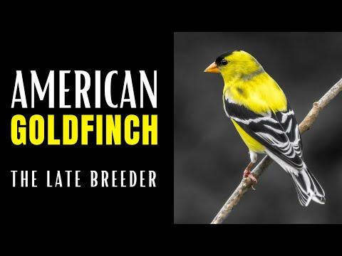 AMERICAN GOLDFINCH | The Late Breeder Video